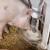 Do petka poznato da li u Srbiji ima afričke kuge svinja: U Bugarskoj besni epidemija
