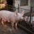 DZS: U 2020. manje zaklanih goveda, a veći broj svinja