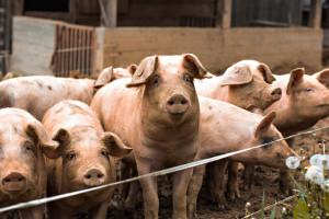 Svinjska kuga u tri mladenovačka sela, ali je situacija pod kontrolom
