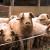 Isplaćeno oko 675 hiljada KM za interventni otkup svinja