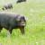 Pata negra ili kako Španjolska štiti svoju crnu iberijsku svinju