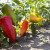 Proizvodnja paprike: Zbog hladnijih noći ne napreduje ona već rasađena