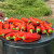 Paprika se uveliko peče za ajvar - znate li pravi recept?