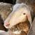 22. savjetovanje uzgajivača ovaca i koza održat će se putem Zoom Meeting-a