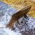 Masovni bijeg s farme: Gotovo 3.000 lososa pobjeglo u ocean!