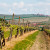 Uzročnici fitoplazme pronađeni u našim vinogradima