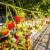 Hidroponska proizvodnja jagoda