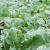Gnojidba, njega i prihrana uljane repice