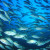 Tolušić: Oporavak stoka tune u Mediteranu smatramo povodom za liberalizaciju uzgoja