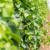 Prihrana vinove loze u periodu vegetacije