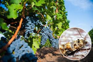 Toplo narednih dana: U vinovoj lozi registrovani pepeljasti grožđani moljci