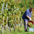 Francuzi na 34.000 ha obrnu pet milijardi evra na šampanjcu