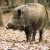 Našli rješenje za divlje svinje - puštaju im cajke