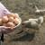 Koke nosilje: Pridržavajte se pravila ispusta za veću proizvodnju jaja
