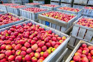 U čemu je problem sa izvozom srpskog voća u Rusiju?