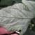 Štitasti moljac napada rajčicu, papriku i drugo povrće i cvijeće - kako ih suzbiti