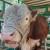 Uvozimo bikovo sjeme po 1.000 KM/kg, stočari se žale da je lošeg kvaliteta