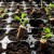 U filteru opuška seme - iz semena biljka?