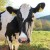 Uzgojnim organizacijama u stočarstvu 679 tisuća kuna za sufinanciranje rada
