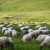 Dinara se vraća u život: Kroz EU projekt vraćaju stoku na travnjake