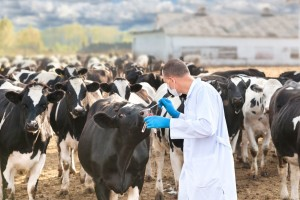 U Hrvatskoj je od danas slobodan promet goveda!