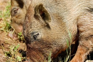 Lovci u jednom danu ubili 158 divljih svinja