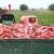 Zašto je leskovačka paprika posebna? Od semena, klimata do ajvara
