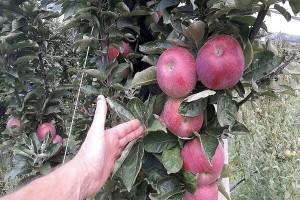 Boja kod jabuke: Šta sve utiče na obojenost?