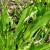 Ljekovita uskolisna bokvica: Biljka buntovnica prilagodljiva klimatskim promjenama
