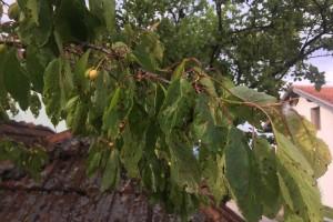 Kozičavost listova, opasnost za voćke trešnje i višnje