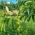 Zbog kombinacije vrućine, vlage i kiše veća pojava bolesti i štetnika na voću, lozi i povrću