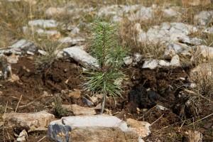 Hrvatsko šumarsko društvo: Saditi bilo što i bilo gdje je neodgovorno prema prostoru, ali i biljci