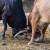 Borba bikova i izložba domaćih životinja na manifestaciji Kočićev zbor 2018