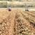 U toku je vađenje boričkog krompira - kvalitet je odličan, ali se povrtari boje niske otkupne cijene