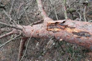 Hoće li Dalmacija ostati bez borova?