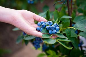 Bivši malinari se odlučuju na sadnju i uzgoj borovnice?