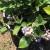 Krenula i berba borovnice, nadležni podržavaju domaću proizvodnju kroz sufinansiranje