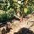 Đubrenje borovnice - važno je izbjegavati nitratni oblik azota