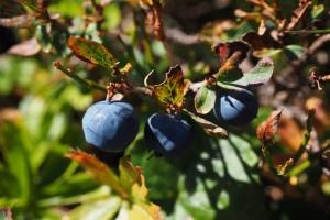 Kako zaštititi borovnicu od nepovoljnih abiotičkih uticaja sredine?