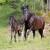 U Nizozemskoj počeo uzgoj bosanskog brdskog konja