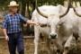 Izložba istarskog goveda