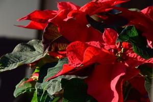 Mrak im je potreban za cvjetanje: Božićna zvijezda i božićni kaktus