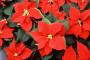 Blagdani imaju i svoje (božićne) biljke!