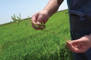 Travni korovi predstavljaju sve veći problem u usjevima žitarica