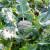 Brokula: Kako uzgojiti ranoproljetne kultivare