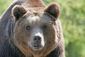 Kneževski medvjed i ove godine dolazi po još - odnio dvije svinje teške 180 kg