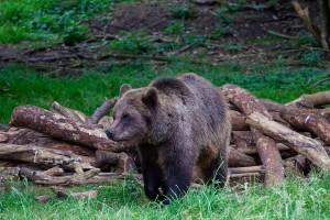 Kneževski medvjed spašen iz zamke krivolovaca i pušten u prirodu