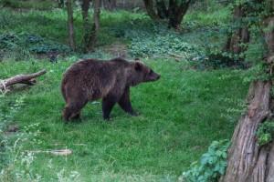 Broj šteta od medvjeda se povećao do tri puta. Povećao se i broj medvjeda?