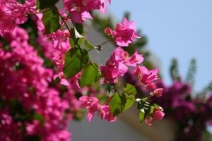 Bugenvilija - mediteranska biljka koju je moguće uzgajati i kod kuće