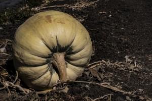 U Rasavcima izrasla bundeva teška 130 kg, a u Oregonu 984 kg!